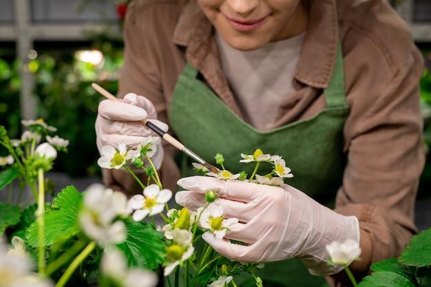 Gehandschoende handen van verticale landarbeider die borstel gebruikt terwijl hij aardbeienbloesem vasthoudt tijdens kunstmatige bestuiving van naburige zaailingen