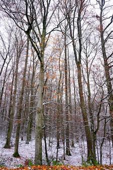 Geheimzinnig bos van lange bomen met sommige bruine bladeren in een grijze dag van de winter.