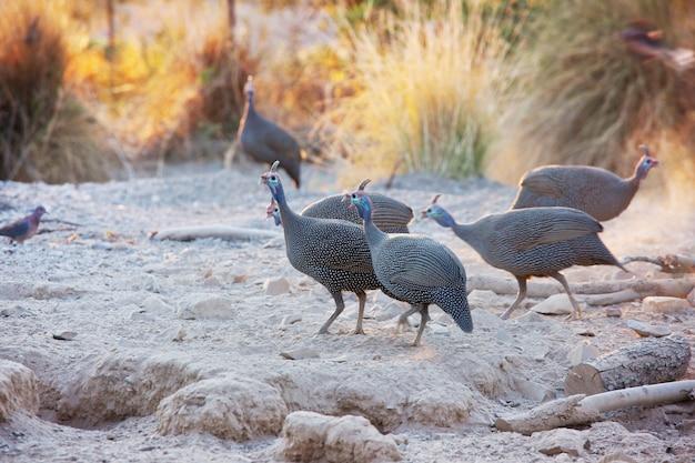Gehelmde parelhoen in namibië, afrika