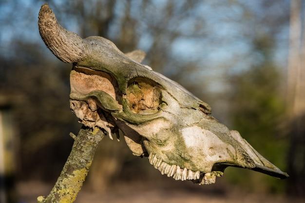 Gehoornd koekopskelet dat op hout hangt