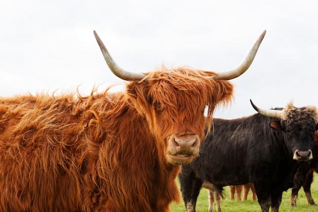 Gehoornde koe