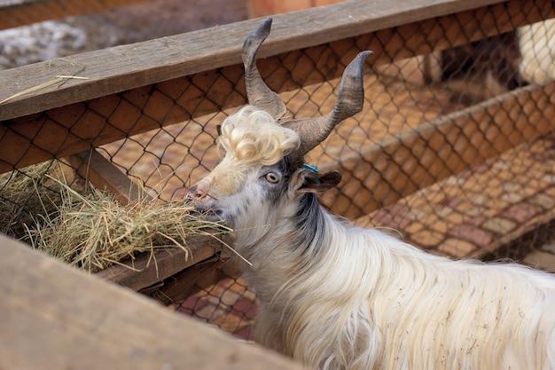 Gehoornde shaggy witte berggeit staande in een zonnige vroege lentedag op de boerderij met een houten hek. grappige geit met enorme horens op zijn hoofd die hooi eten van feeder. biologisch voedsel concept. landbouwgrond