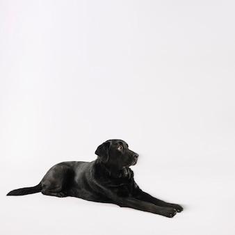 Gehoorzaam labrador die op wit liggen