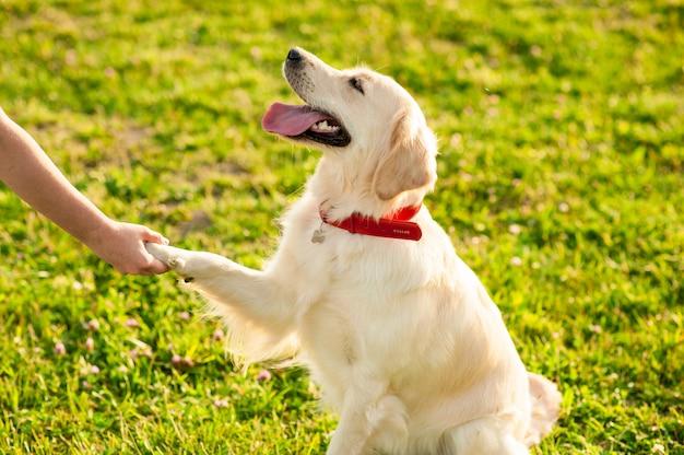 Gehoorzame golden retrieverhond met zijn eigenaar die pootbevel oefent