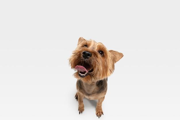 Geïnteresseerd. yorkshire terrier hond is poseren. leuk speels bruin zwart hondje of huisdier spelen op witte studio achtergrond. concept van beweging, actie, beweging, huisdierenliefde. ziet er gelukkig, opgetogen, grappig uit.
