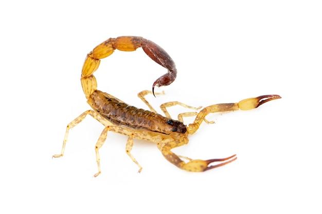 Geïsoleerd beeld van bruine schorpioen. insect. dier.