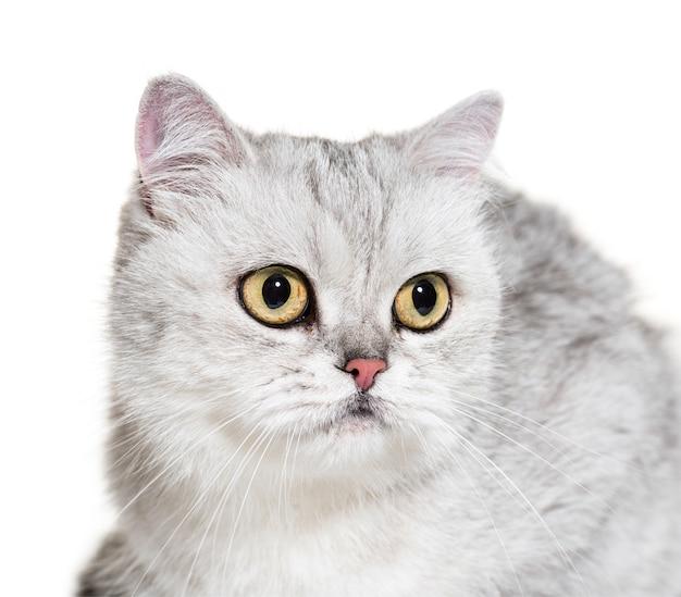 Geïsoleerd close-up van een britse shorthair-kat