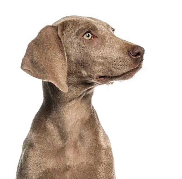 Geïsoleerd close-up van een weimaraner-puppyprofiel ,.
