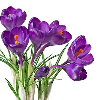 Geïsoleerd de lenteboeket van purpere krokussen
