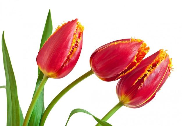 Geïsoleerd de lenteboeket van rode tulpen