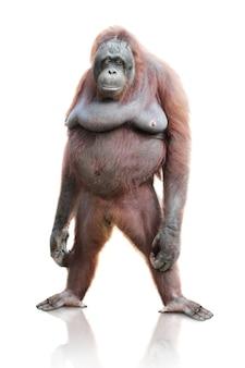 Geïsoleerd portret van orangoetan