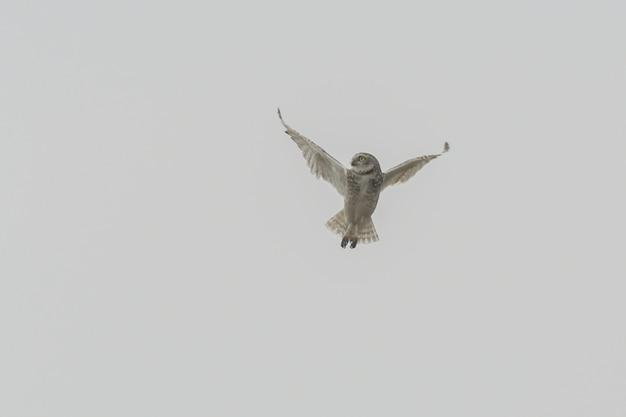 Geïsoleerd schot van een uil die manoeuvreert