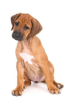 Geïsoleerd schot van rhodesian ridgeback-puppy die voor witte muur zit