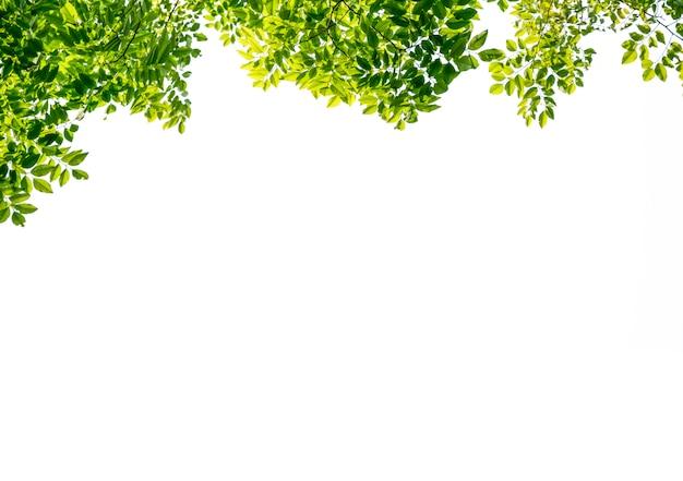 Geïsoleerd van mooie boomtak met kleurrijk blad op witte achtergrond. uitknippad en kopieer de ruimte - afbeelding.