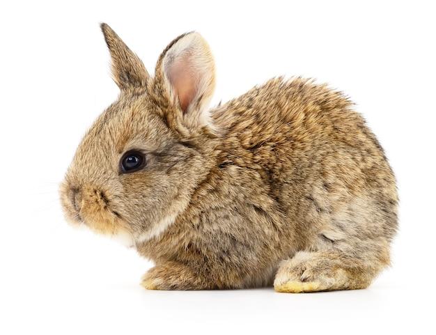 Geïsoleerde afbeelding van een bruin konijn.