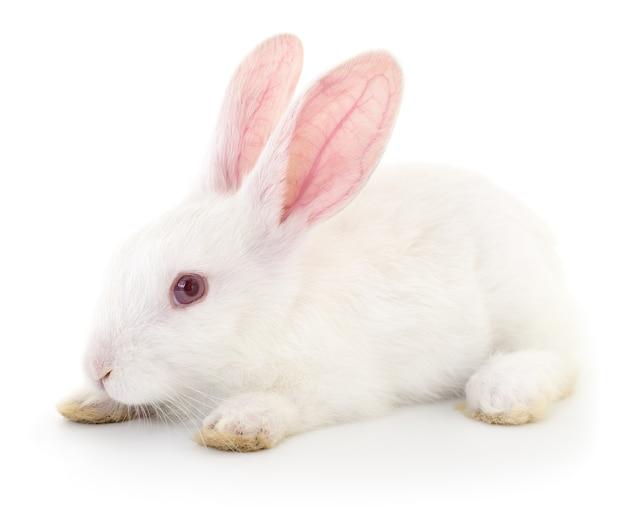 Geïsoleerde afbeelding van een wit konijn.