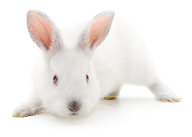 Geïsoleerde afbeelding van een wit konijn