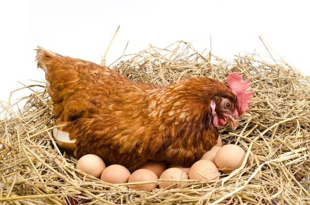 Geïsoleerde bruine kip met ei in de studio