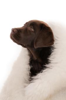Geïsoleerde close-up shot van chocolade labrador retriever pup gewikkeld in witte schapenvacht op zoek naar links