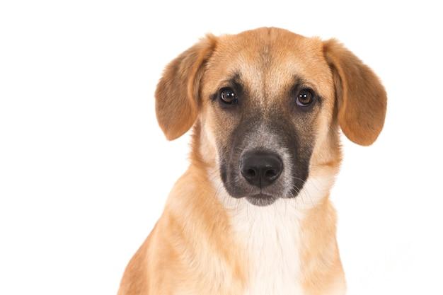 Geïsoleerde close-up shot van een broholmer-puppy voor een witte achtergrond die in de camera kijkt