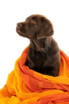 Geïsoleerde close-up shot van een chocolade labrador retriever pup gewikkeld in oranje handdoek op zoek naar links