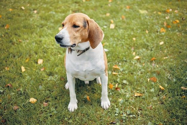 Geïsoleerde foto van volwassen beagle zittend op groen gras, met wat rust tijdens de ochtendwandeling in het park met de eigenaar. mooie witte en bruine hond buiten rusten. huisdieren en dieren concept