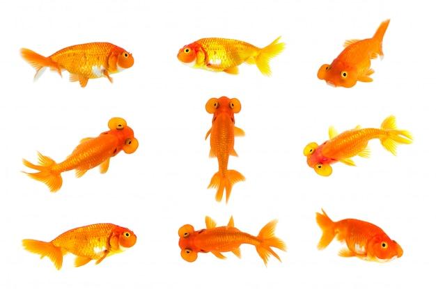 Geïsoleerde groep goudvis en bellenooggoudvis. dier. pet.
