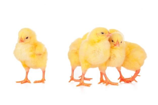 Geïsoleerde groep kippen