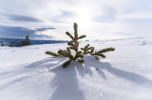 Geïsoleerde kleine naaldboom ondergedompeld in sneeuw, bij prairie mountain, kananaskis, alberta, canada