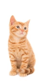 Geïsoleerde opname van een gemberkatje dat voor een wit zit dat naar rechts kijkt