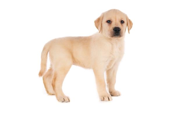 Geïsoleerde opname van een gouden labrador retriever-puppy die voor een wit oppervlak staat