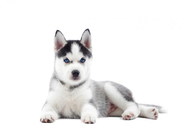 Geïsoleerde portret van puppy van siberische husky hond met geboorte blauwe ogen, rusten. grappige hond met ontspannen, na activiteit.