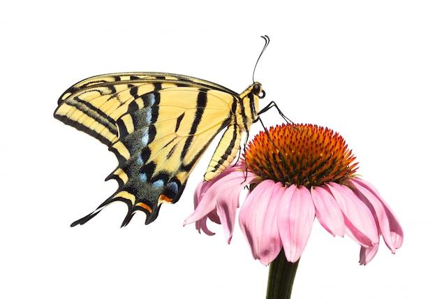 Geïsoleerde swallowtail-vlinder op zonnehoed