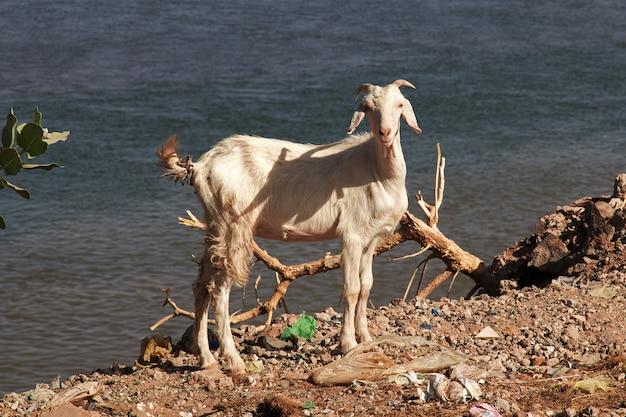 Geit bij de rivier de nijl, khartoem, soedan