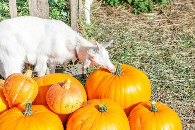 Geit die pompoen snuift op biologische, natuurlijke eco-dierenboerderij in het herfstseizoen. verandering van seizoenen, rijp biologisch voedselconcept. halloween-feest thanksgiving-dag.