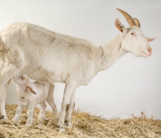 Geit en haar kind voor een grijze achtergrond in een schuur