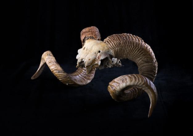 Geit hoorns en schedel geïsoleerd op zwarte achtergrond