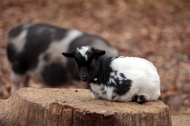 Geit jongen in binnenlandse boerderij. schattige dwerg yeanling vijand. aanbiddelijk gelukkig huisdier. kleine geit op boomstronk