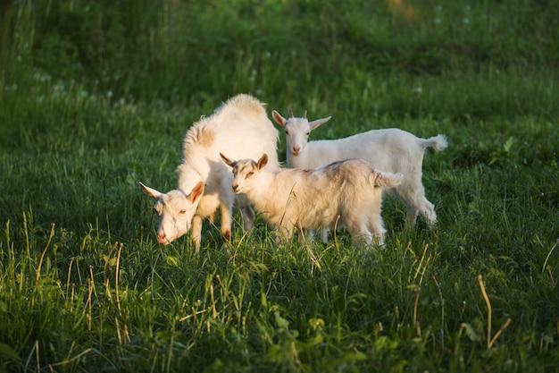 Geit met een geitenkind. familie geiten wordt geweid op een groene weide. moeder geit en haar baby's in het dorp. kudde geiten wandelen in platteland