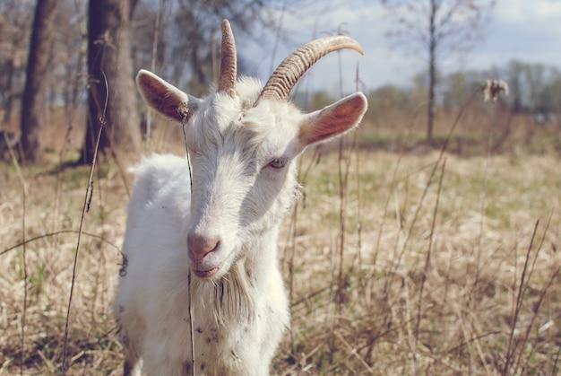 Geit met hoorns, witte geit op hoofd en nek, geit in het veld.