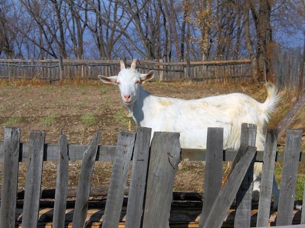 Geit voor een houten hek