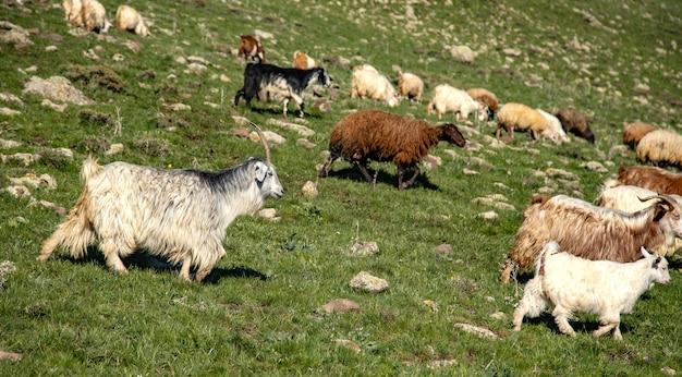 Geiten en schapen op de achtergrond van een veld