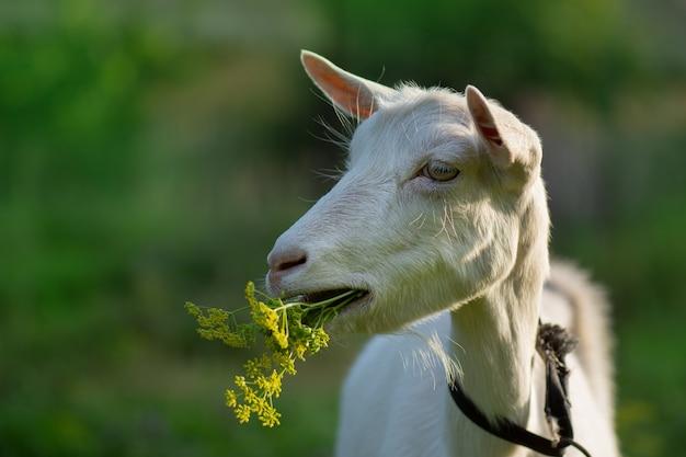 Geiten grazen op weiland. geiten grazen bij zonsondergang. binnenlandse geiten grazen in een weiland