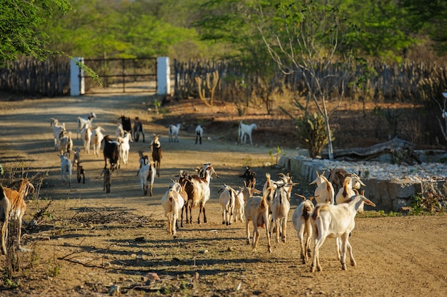 Geiten in de cariri-regio, cabaceiras, paraiba, brazilië op 1 november 2012.