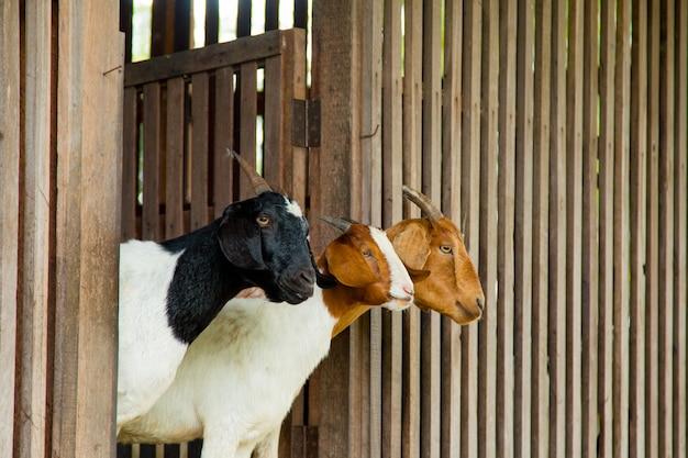 Geiten op de boerderij in thailand