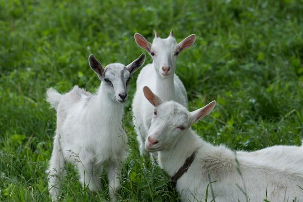 Geiten op familieboerderij. kudde geiten spelen. geit met haar welpen op de boerderij. familie van een moeder en haar kinderen