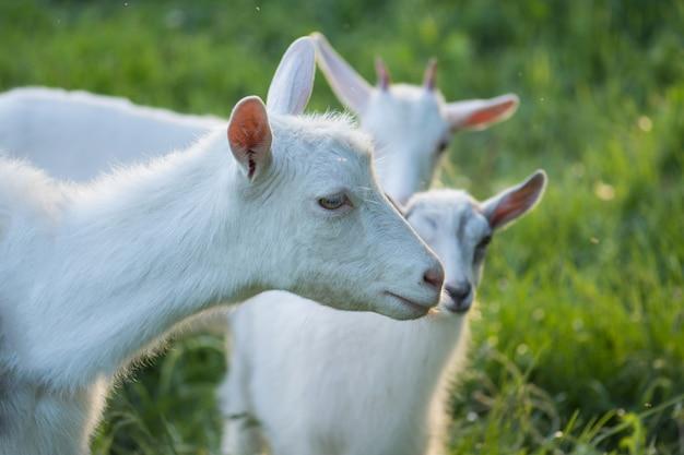 Geiten op familieboerderij. kudde geiten spelen. geit met haar welpen op de boerderij
