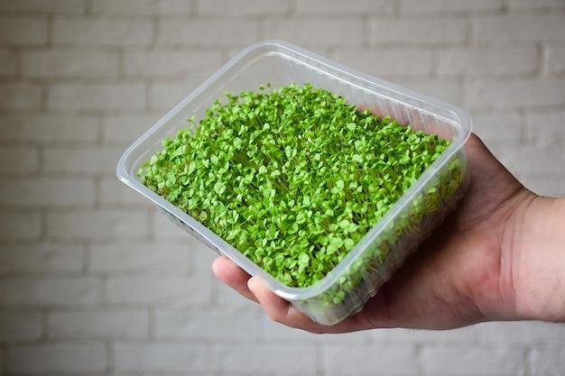 Gekiemde decoratieve greens basil microgreen in een plastic doos in de palm van je hand tegen een achtergrond van een bakstenen muur. groenen in de grond.