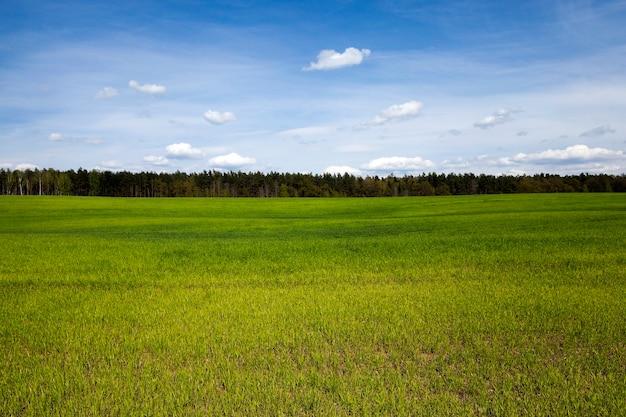 Gekiemde granen lente het landbouwgebied waar groen gras groeide, spruiten tarwe lente hoogland