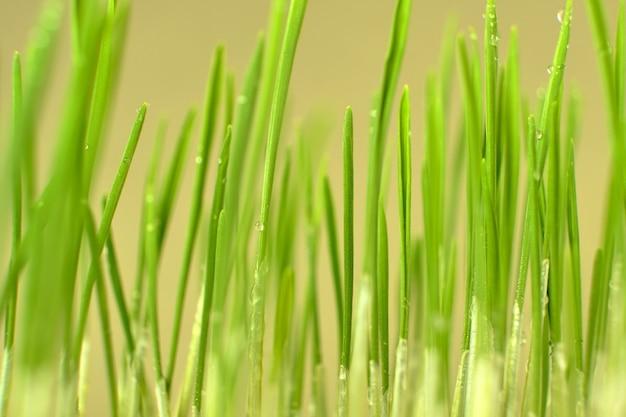 Gekiemde tarwekorrels close-up. ontkieming van microgreens thuis